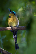 Keel-billed Motmot (Electron carinatum)