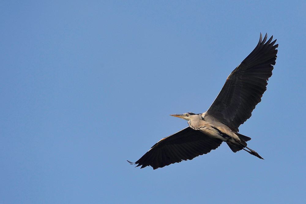 Grey heron, Ardea cinerea, Stettin lagoon, Poland, Oder river delta/Odra river rewilding area, Stettiner Haff, on the border between Germany and Poland