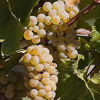 Riesling grapes on the vine.