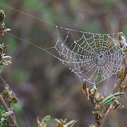 Dew-covered spiderweb, Wayqecha Cloud Forest Biological Station, Andes Mountains, Peru
