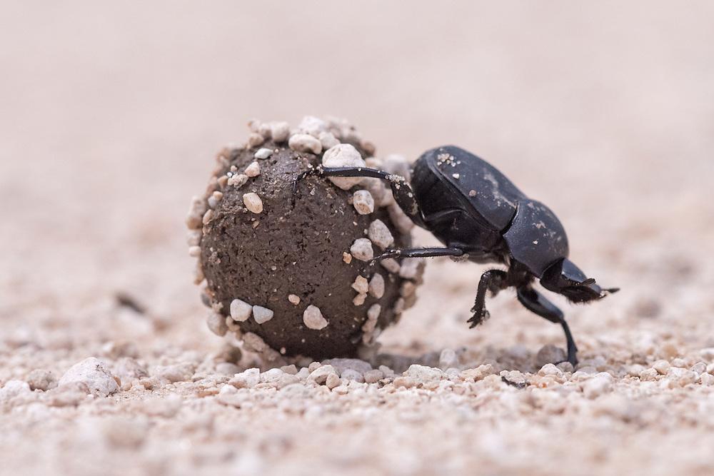 Dung Beetle, Canthon imitator;<br /> Photographer:  Hector Astorga <br /> Property:  Santa Clara Ranch / Beto &amp; Clare Gutierrez<br /> Starr County