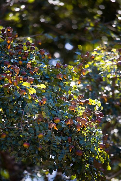 Belo Horizonte_MG, Brasil...Plano de manejo das Reserva Particular do Patrimonio Natural (RPPN) em Pocos de Caldas, Minas Gerais. Na foto frutos da arvore olho-de-cabra (Abrus precatorius)...The Private Natural Heritage Reserve (RPPN) in Pocos de Caldas, Minas Gerais. In this photo Fruits of a tree Crabs eye (Abrus precatorius)...Foto: JOAO MARCOS ROSA /  NITRO