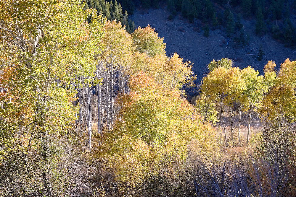 Brilliant autumn trees, Sun Valley, Idaho,
