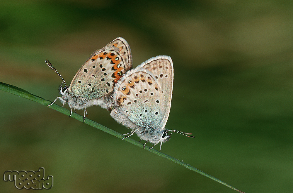 Two Common Buckeye butterflies mating side view