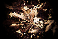 A maple leaf in it's final glory at the beginning of winter.