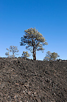 Tree Re-growth on Lava Flow Trail, Sunset Crater Volcano National Monument, Arizona