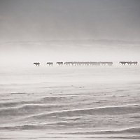 winter snow storm blinds horse herd