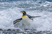 King penguin, Aptenodytes patagonicus exiting the surf at Salisbury Plain on South Georgia Island.