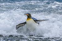 King penguin, Aptenodytes patagonicus exiting the surf at Salisbury Plain on South Georgia Island.