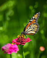 Monarch butterfly feeding on a Zinnia flower. Image taken with a Nikon D850 camera and 300 mm f/2.8 VR lens + 2.0 TC-EIII teleconverter