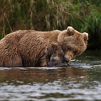 While searching for salmon in a frigid and swiftly flowing river, an Alaskan brown bear mother pauses to check on her 5 or 6 month old cub that is clinging to her coat. Katmai National Park, Alaska.