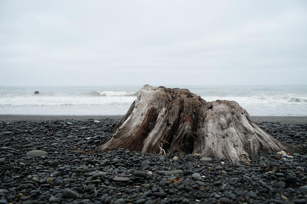 Stump at Rialto Beach