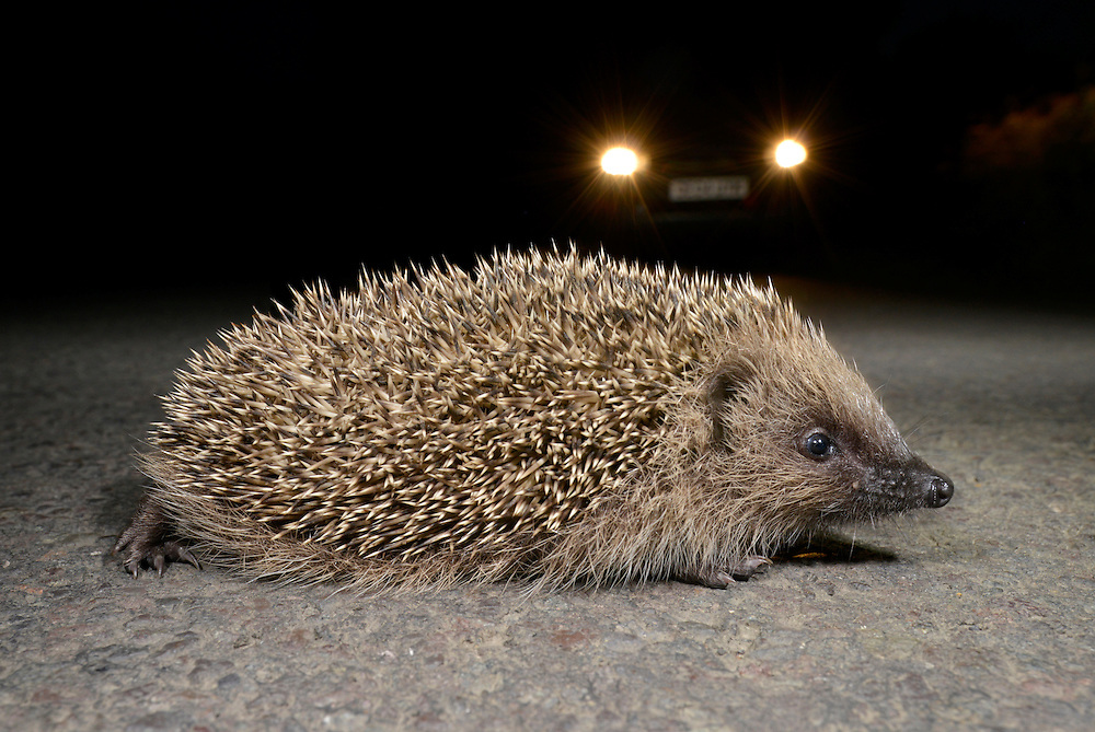 Hedgehog - Erinaceus europaeus crossing a country road at night. Length 23-27cm Mainly nocturnal animal, protected by spines (modified hairs). Feeds mainly on invertebrates but will take food put out by people. Hibernates from Oct-Apr. Spines are erectile and an effective deterrent when animal rolls into a defensive ball. Head and underparts are covered in coarse hairs. Muzzle-shaped head ends in a sensitive nose. Utters a pig-like squeal in distress, and grunts when courting. Familiar garden resident.