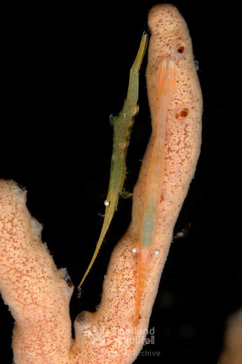 Sawblade shrimp Tozeuma sp. in Lembeh Straits, Indonesia.