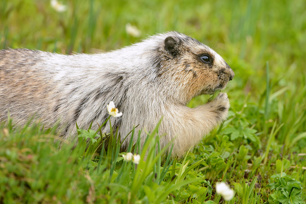 Hoary Marmot (Marmota caligata) eating grass, Northern Rockies