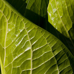 The veiny leaves of skunk cabbage, Symplocarpus foetidus, in a forested wetland in Newburyport, MA.