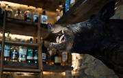 A stuffed boar mounted behind the bar at  Boar and Barrel in Madison, WI on Thursday, May 16, 2019.