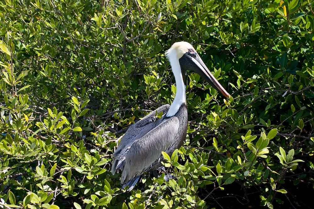 Brown Pelican in tree branches, Islamorada, Florida Keys, USA