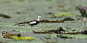 The Pheasant-tailed Jacana is the only jacana to have a different breeding plumage (as seen here). Jacanas are a group of waders that are identifiable by their wide feet and claws which enable them to walk on floating vegetation in shallow lakes.  This is a common species, not considered threatened or endangered.