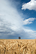 The Reilly family's wheat field (paddock), Wyalkatchem, Western Australian Wheatbelt. 09 December 2012 - Photograph by David Dare Parker
