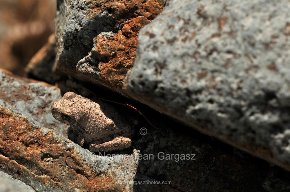 A Canyon Treefrog, (Hyla arenicolor), sits along a stream in Gardner Canyon, Santa Rita Mountains, Coronado National Forest, Sonoran Desert, near Sonoita, Arizona, USA.