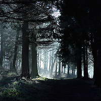 Sunlight shing through pine trees in a wood onto a path