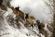 PRICE CHAMBERS / NEWS&amp;GUIDE<br /> A group of young elk dart up a steep hill near the Gros Ventre River Ranch on Thursday.