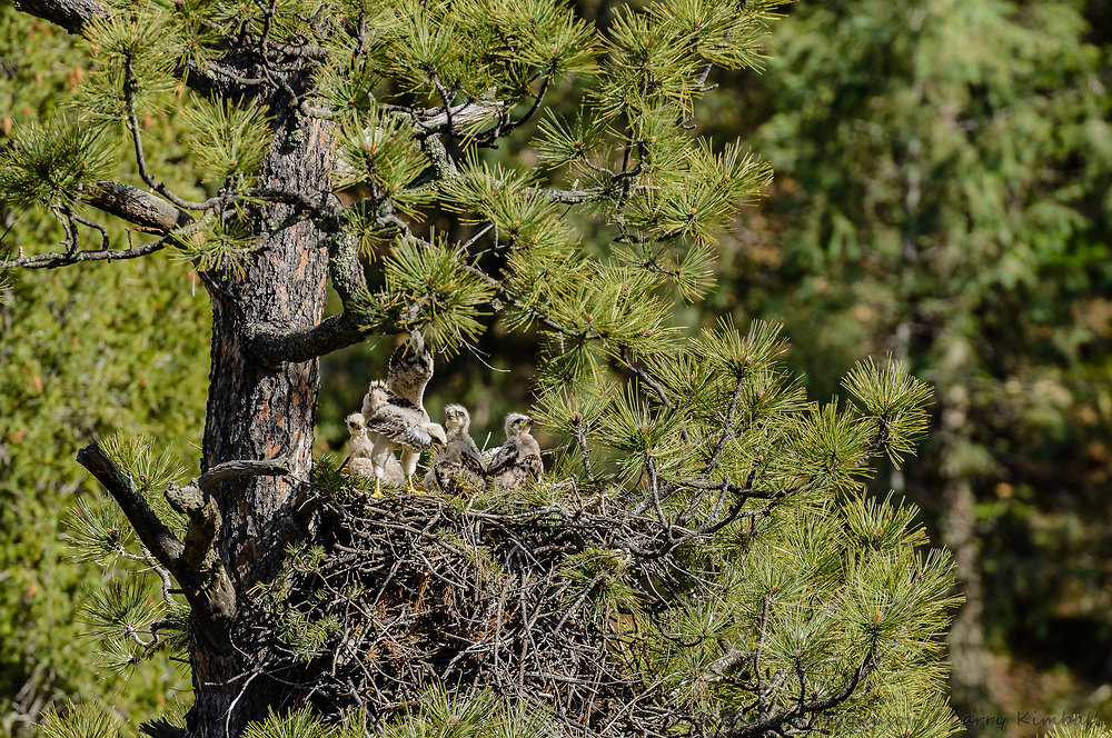 Red-tailed Hawk [Buteo jamaicensis] nestlings scramble for scraps of food brought in by adult; Raton Pass, Colorado