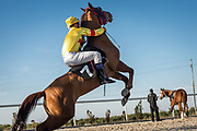 A mix of Arabian horses and Thoroughbreds, some of the race horses are owed by the club, others are privately owned and brought from all over Iraq to race.