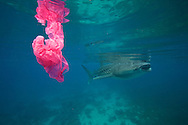 A whale shark swims by while a plastic bag floats around. Plastic kills way too much marine life.  A whale shark (Rhincodon typus) swims by a plastic bag. Pollution like this can have negative effects on all marine life.