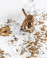 Mountain Lion on the hunt.