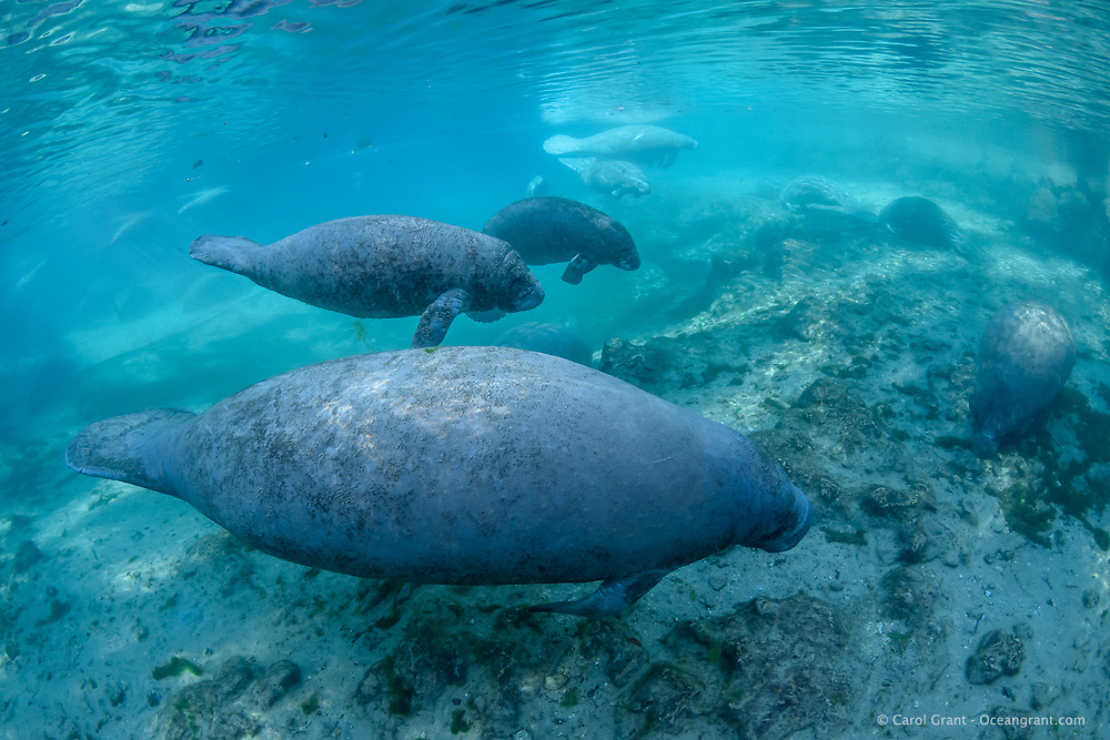 Manatees swim near a warm spring outflow. Manatees frequently move around these natural warm-water sources to show their calves around, find warmer spots or leave when the tide is retreating. This is a recent image from March 2018. Florida manatee, Trichechus manatus latirostris, a subspecies of the West Indian manatee, endangered. Three Sisters Springs, Crystal River National Wildlife Refuge, Kings Bay, Crystal River, Citrus County, Florida USA. IUCN Red List: Endangered. USFWS implemented downlisting to Threatened 2017: http://www.iucnredlist.org/details/22106/0. Taken under USFWS SUP Permit