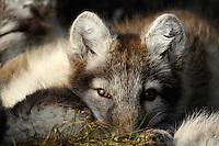 Arctic fox (Alopex lagopus)<br /> Trygghamna<br /> Svalbard<br /> Norway