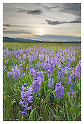 Meadows of Common Camas (Camassia quamash) Stanley Basin Sawtooth Mountains Idaho