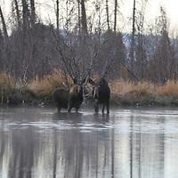 Moose &amp; Calf<br /> Grand Teton National Park<br /> Wyoming