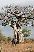 Elephant under a baobab tree, at Tarangire National Park, United Republic of Tanzania, Tarangire Park is located about 120km from Arusha, south east of Manyara.