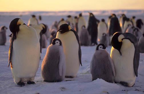 Emperor Penguin, (Aptenodytes forsteri) Rookery at Atka Bay. Antarctica.