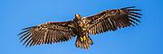 Havørn svever i luften over Lundeura på Runde | White-tailed Eagle floating in the air at Lundeura, Runde, Norway.