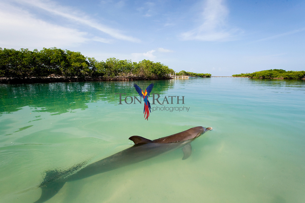 Captive Dolphins in Dolphin encounter lagoon, Hugh Parkey's Belize Adventure Lodge, Belize