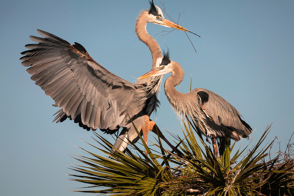 Male great blue heron landing on nest with sticks for the female heron at Viera Wetlands