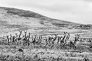 Vicuñas are corralled by villagers and run towards a fence.