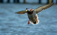 Mallard duck drake, Anas platyrhynchos, in flight near Cambridge Maryland USA.