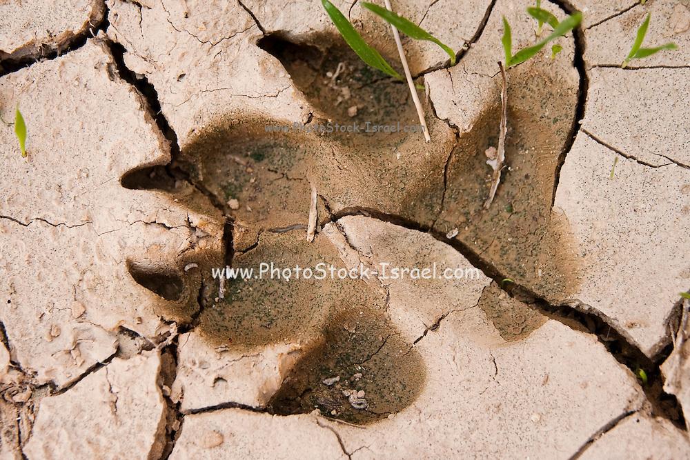 Animal Footprint in the mud