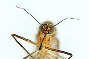 [M] Gnat / (Culex spec.) / Stechmücke Gemeine Hausmücke (Culex pipiens)