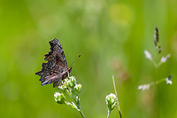 Polygonia gracilis zephyrus (Zephyr Anglewing) ♀ at Poison Meadow, Tulare Co, CA, USA, on 08-Jul-17