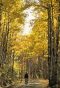 Mountain Biking, Bicycling, Fall, Autumn, Aspen, Aspen tree, yellow, gold, Alaska