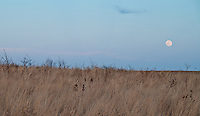 The late winter moon rises above the prairie at Brenton Arboretum in Central Iowa
