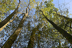 © Licensed to London News Pictures. 30/10/2012. Winkworth, UK.  British Ash Trees are under threat from disease. The killer fungus ash dieback has now been found in 30 sites, including established woodlands,.Unaffected ash trees at Winkworth Arboretum in Surrey today 30th October 2012. Photo credit : Stephen Simpson/LNP