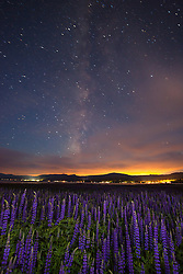 """Tahoe Lupine at Night 2"" - Photograph taken just before sunrise of Lupine wildflowers, the night's sky, the Milky Way, and Lake Tahoe."
