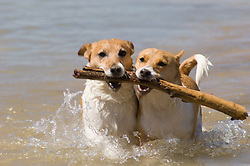 Jack Russells carrying a stick together out of a lake